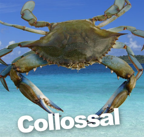 "6-3/4"" and greater Collosal Blue Crabs by the dozen"